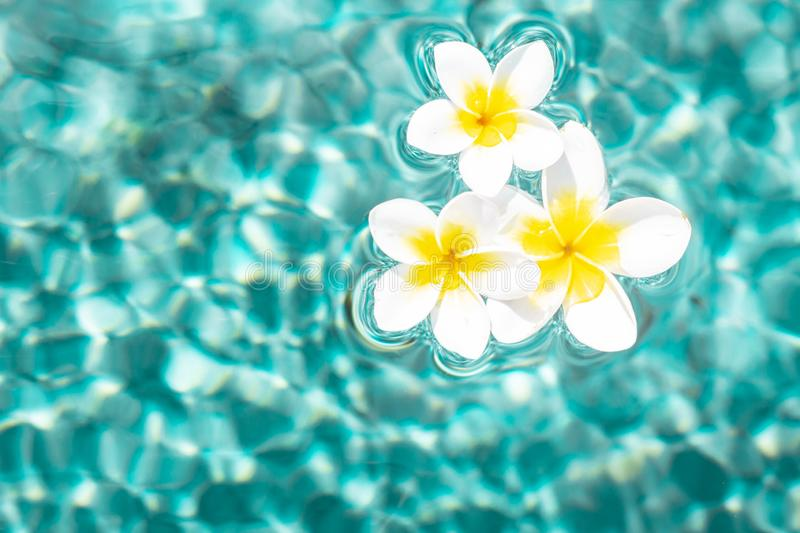 Flowers of plumeria in the turquoise water surface. Water fluctuations copy-space. Spa concept background. Flowers of plumeria close-up in the turquoise water royalty free stock photo
