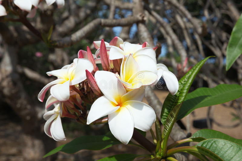 Flowers of the Plumeria Rubra in the Koko Crater Botanical Garden. Selective focus on the first flowers stock image