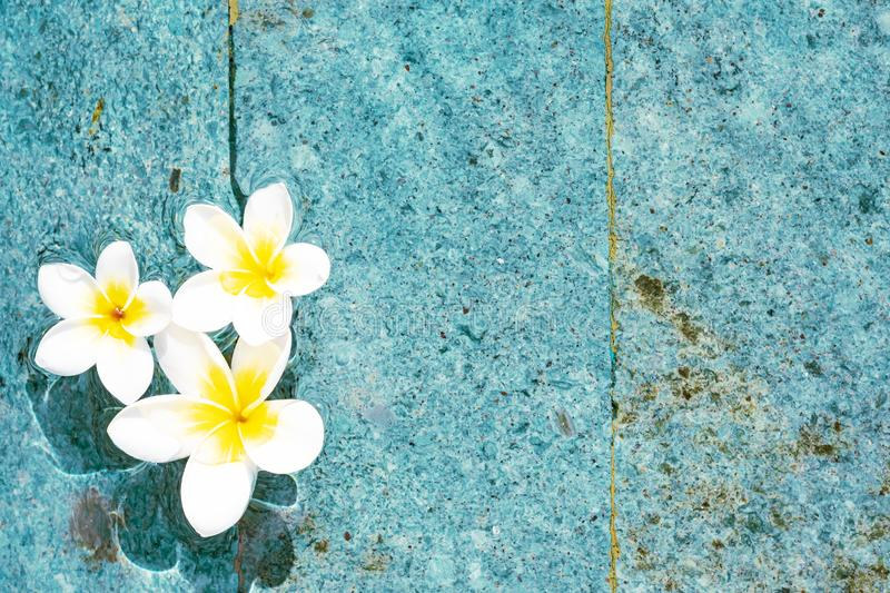 Flowers of plumeria in the turquoise water surface. Water fluctuations copy-space. Spa concept background. Flowers of plumeria close-up in the turquoise water stock photo