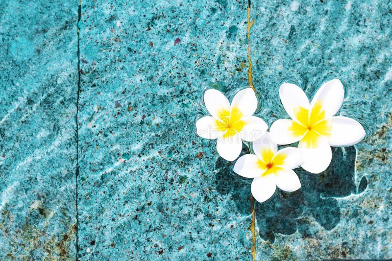 Flowers of plumeria in the turquoise water surface. Water fluctuations copy-space. Spa concept background. Flowers of plumeria close-up in the turquoise water royalty free stock images