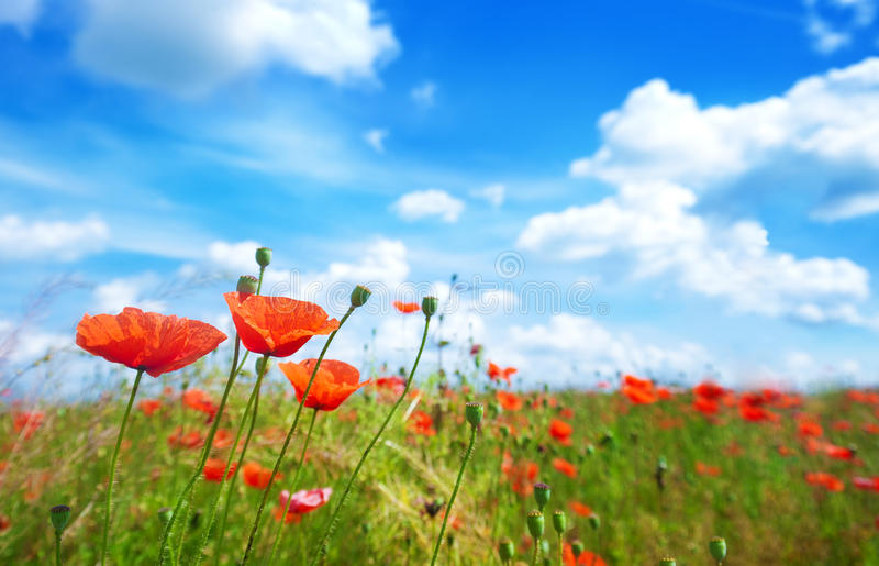 Flowers poppy on a background of the blue sky stock image
