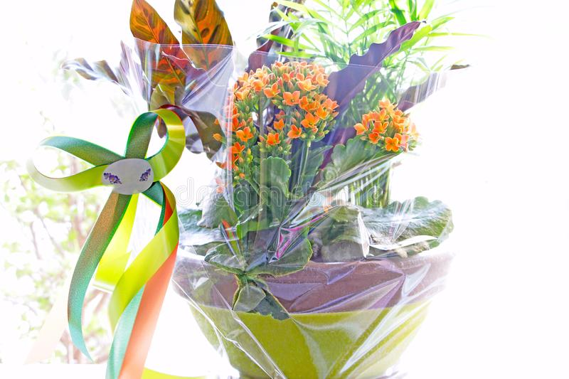 Flowers in a pot. In a gift wrap royalty free stock photography