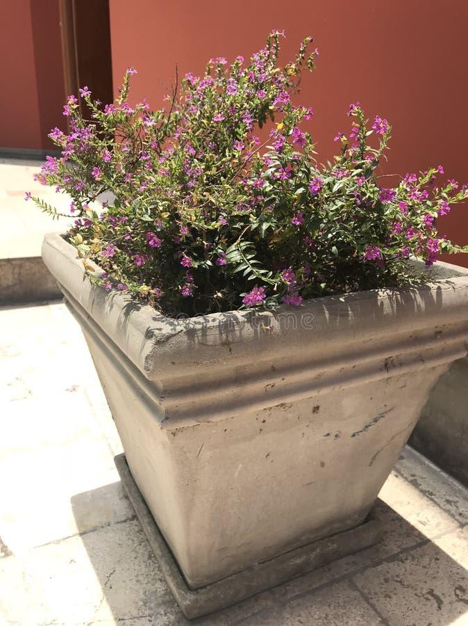 Flowers in pot. Little purple flowers in cement pot stock image