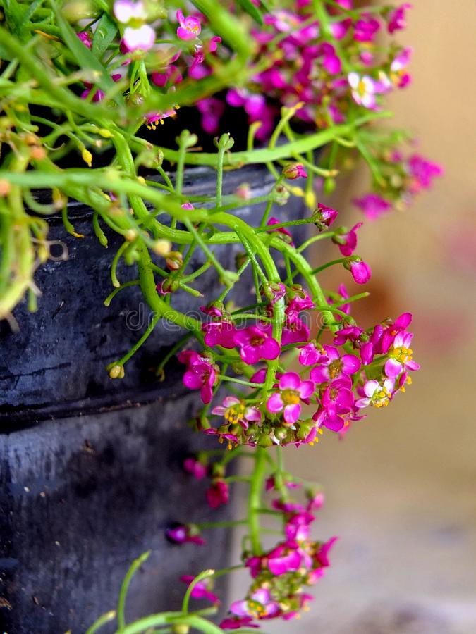 Flowers in a pot. Pretty pink flowers in a rustic pot royalty free stock photography