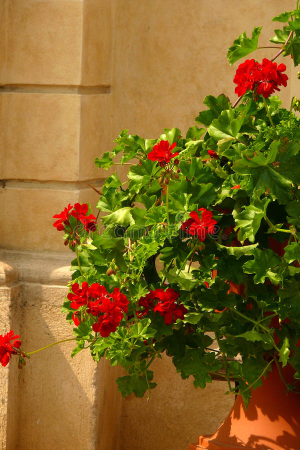 Flowers in pot. Red flowers in pot stock image