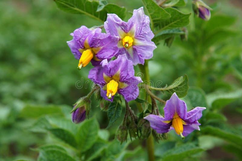 Flowers of potato stock image