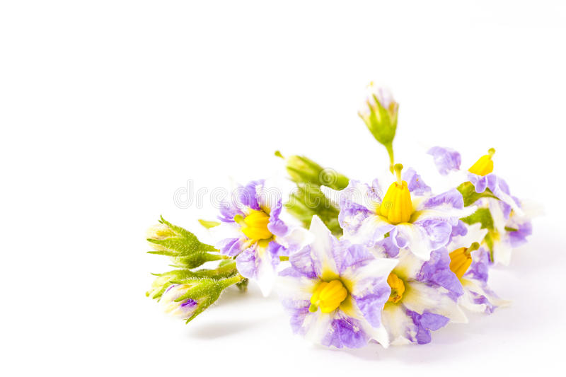 Flowers of potatoes blooming in early summer stock image