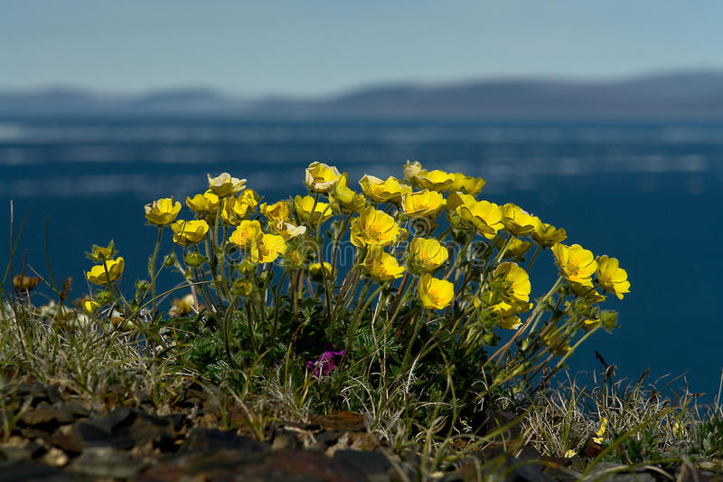 Flowers Potentilla in the tundra of Chukotka. stock image