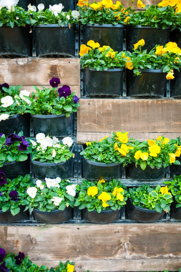 Wall with flower pots. Flowers in pots hang on the wall. City decor. Walls of flowers. Violets in flowerpots stock images