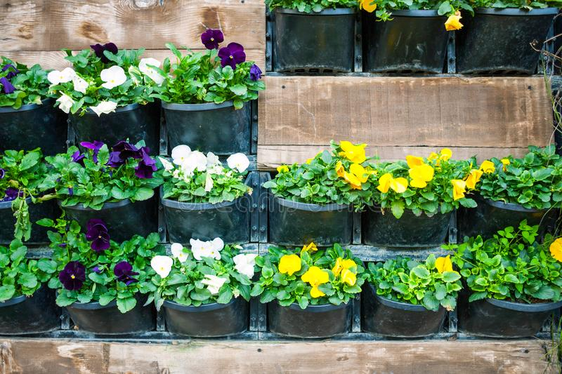 Wall with flower pots. Flowers in pots hang on the wall. City decor. Walls of flowers. Violets in flowerpots royalty free stock images