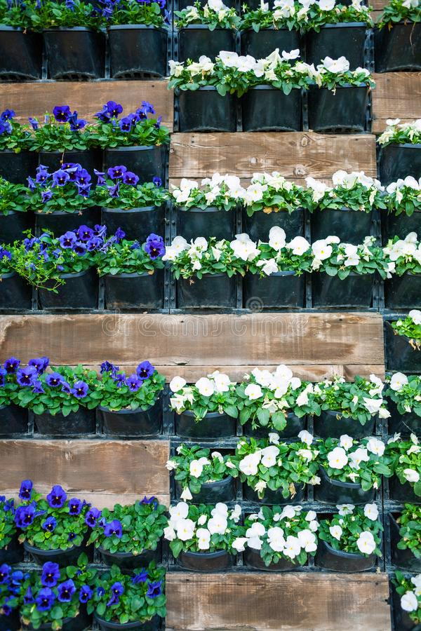 Wall with flower pots. Flowers in pots hang on the wall. City decor. Walls of flowers. Violets in flowerpots stock image