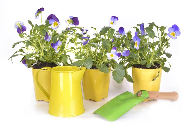 Flowers potted in a little yellow pot stock image