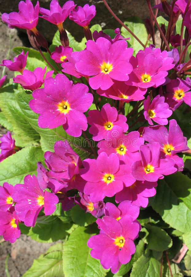 Download Flowers Primrose Julia (Rrimula Juliae) Stock Image - Image: 14315221