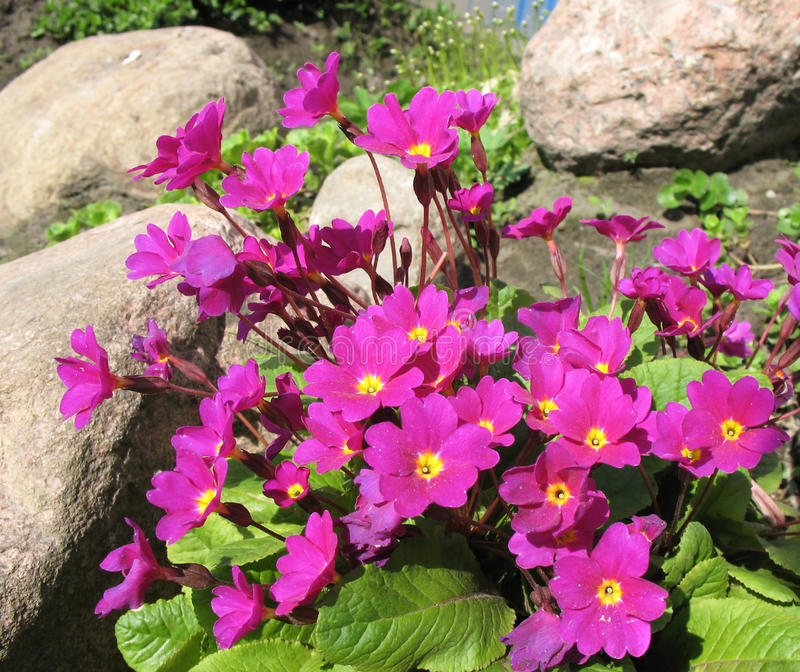 Flowers Primrose Julia (Rrimula Juliae) Stock Photography
