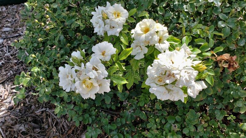 The Rosa multiflora bush royalty free stock photos