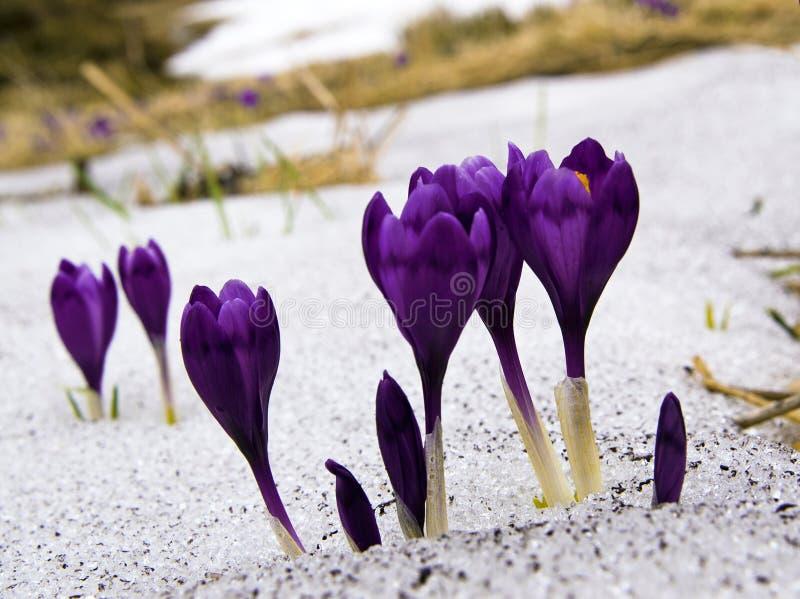 Flowers purple crocus stock photo