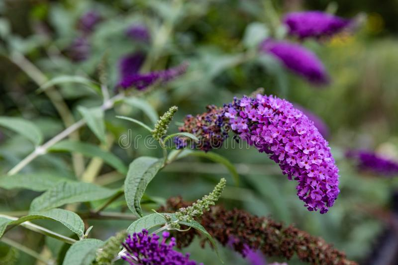 Flowers.Purple flowers.Flowers in garden. Flowers garden background bloom botanical close closeup color colour decoration flora floral florist,flower flowering royalty free stock photography