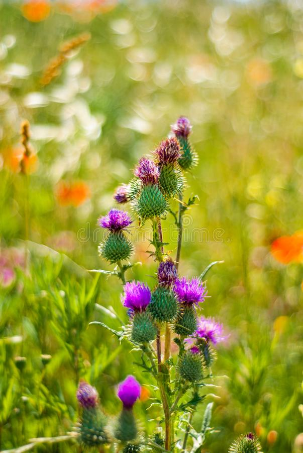 Flowers of purple grass, whith blour background stock photos