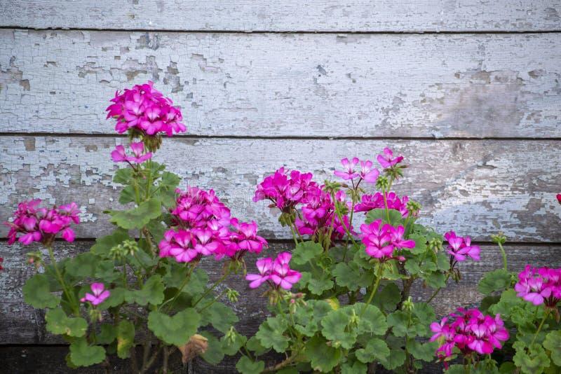 Flowers of purple petunia on wooden background, retro design royalty free stock photos