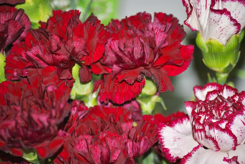 Flowers of a red dianthus. Close up of big red and two-colored flowers of dianthus royalty free stock photo