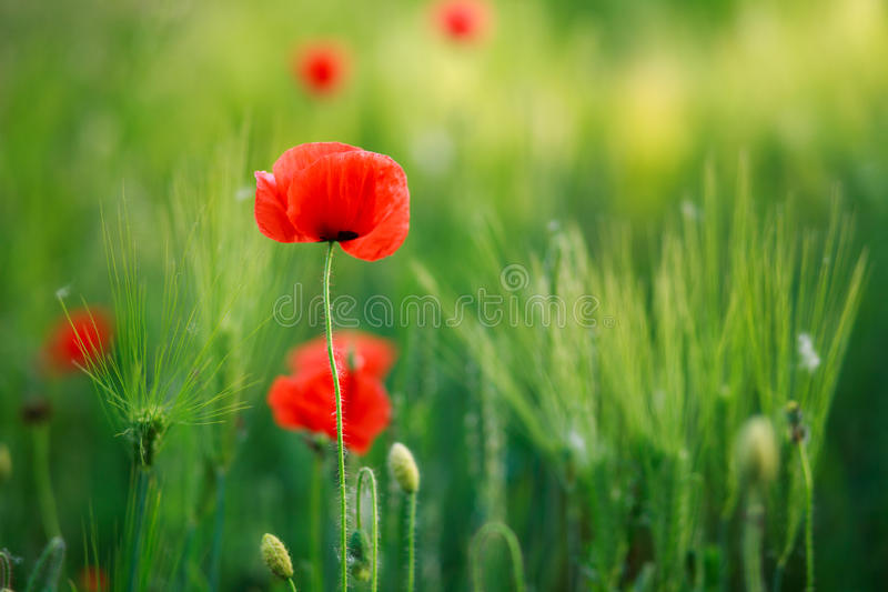 Flowers red poppies blooming in green field royalty free stock image