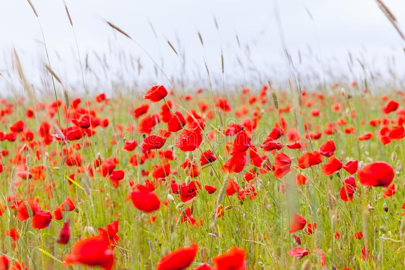 Flowers red poppies blossom on green wild field on the May with selective focus and soft focus blur effects. royalty free stock photography