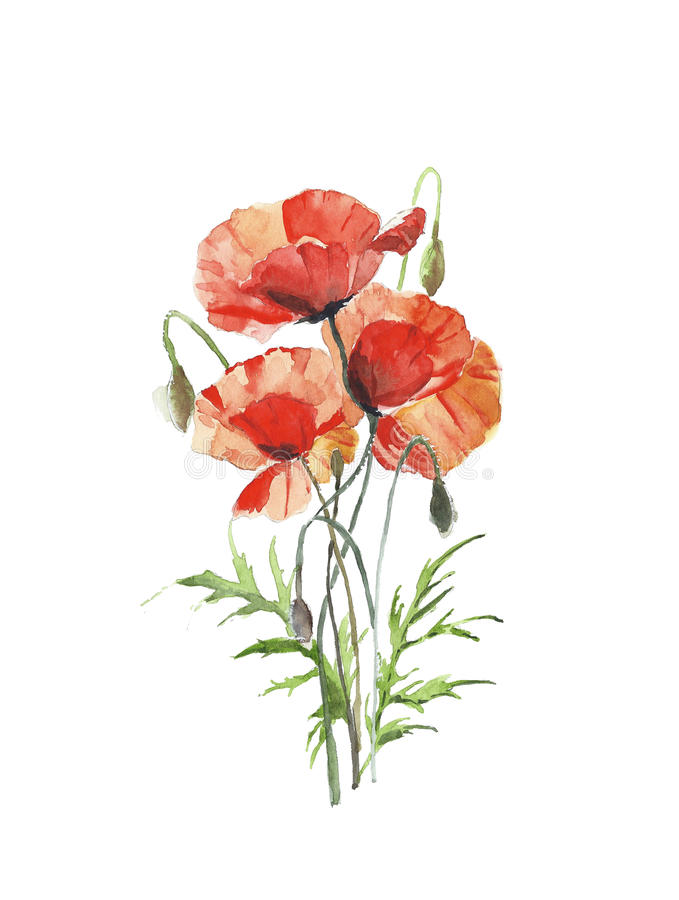 Flowers red poppies spring flower bunch watercolor painting illustration isolated on white background vector illustration