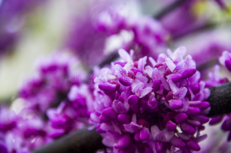 Flowers of redbud stock images