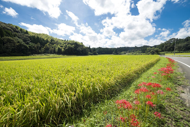 Flowers and rice field royalty free stock photos