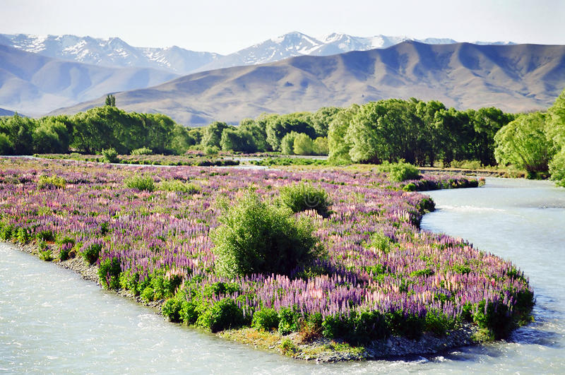 Download Flowers On Riverbed, New Zealand Stock Photo - Image of riverbed, blossom: 13509572
