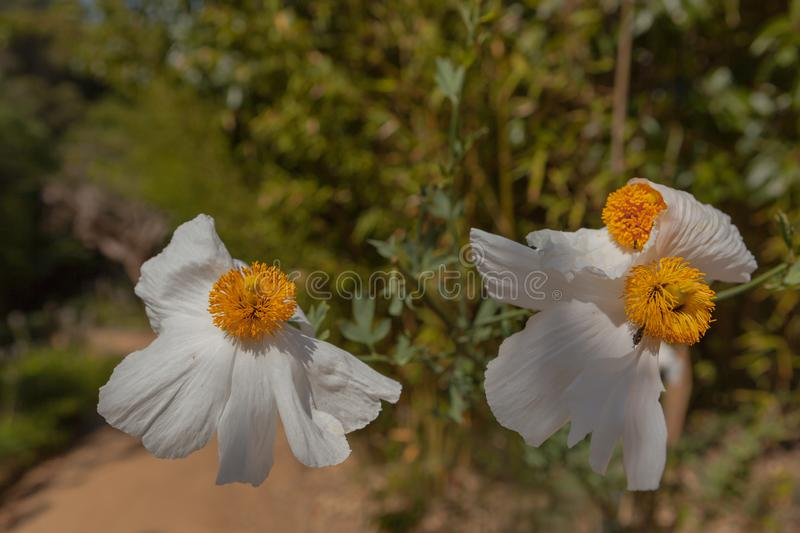The flowers of the Romneya. Pinya de Rosa Botanical garden. Spain royalty free stock images