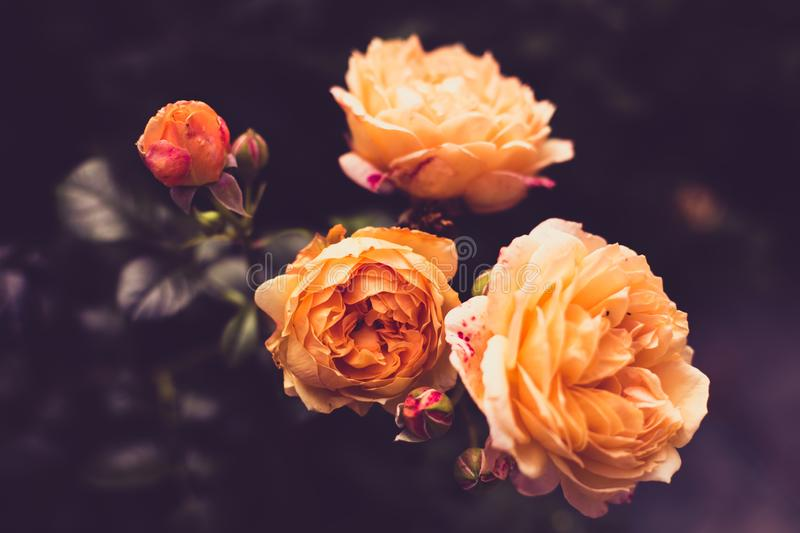 Flowers of rose amber or salmon color in dark toning background. Copy space.  stock image