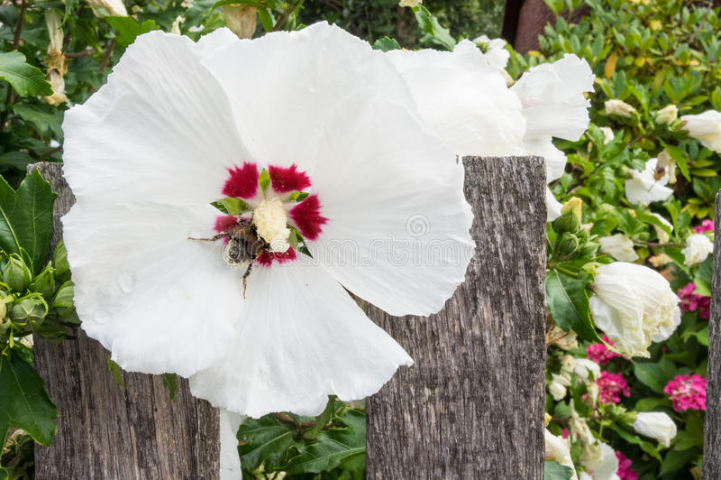 Flowers of a Rose of Sharon with a bumblebee stock images