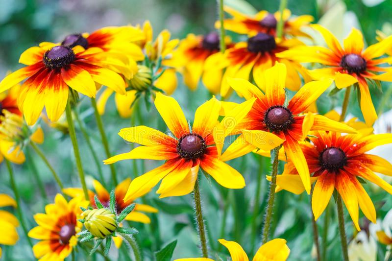 Flowers of Rudbeckia hirta, blossoms of black-eyed Susan in garden on sunny summer day stock photography