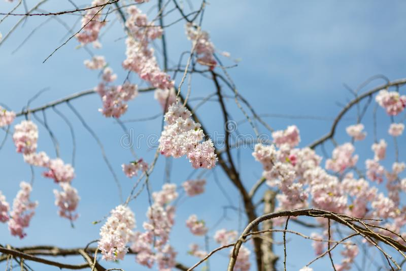 Flowers sakura spring stock photos