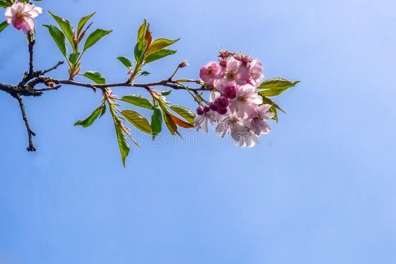 Flowers sakura spring pink blossoms royalty free stock images