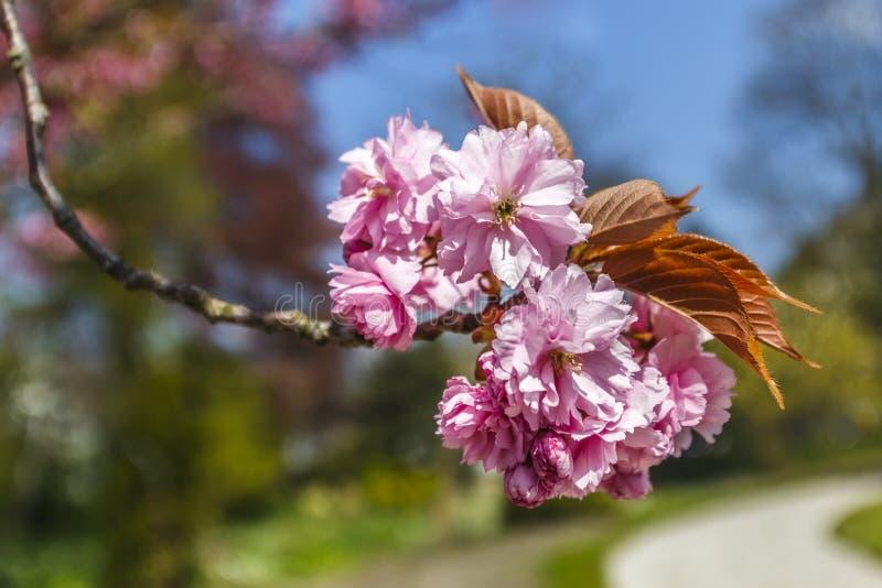 Flowers sakura spring pink blossoms stock photo