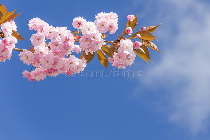 Flowers sakura spring pink blossoms royalty free stock image