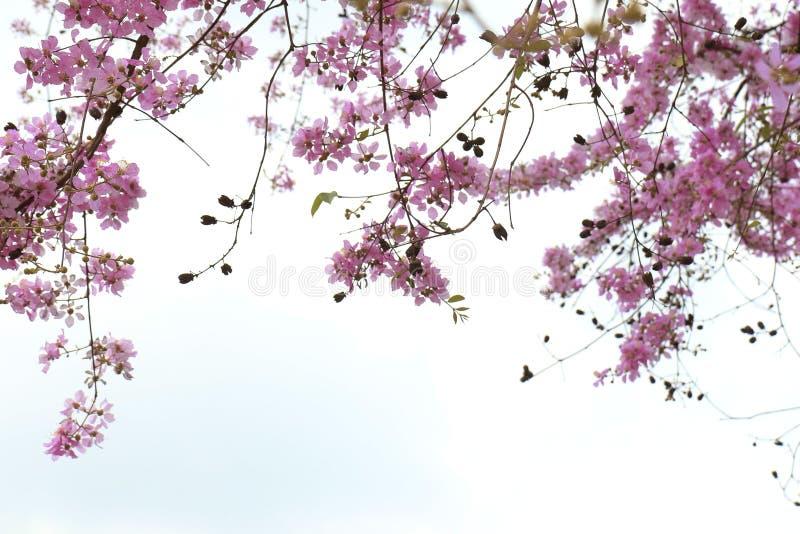 Flowers SalaoBungor,Pride of India or Queen`s flower. stock photos