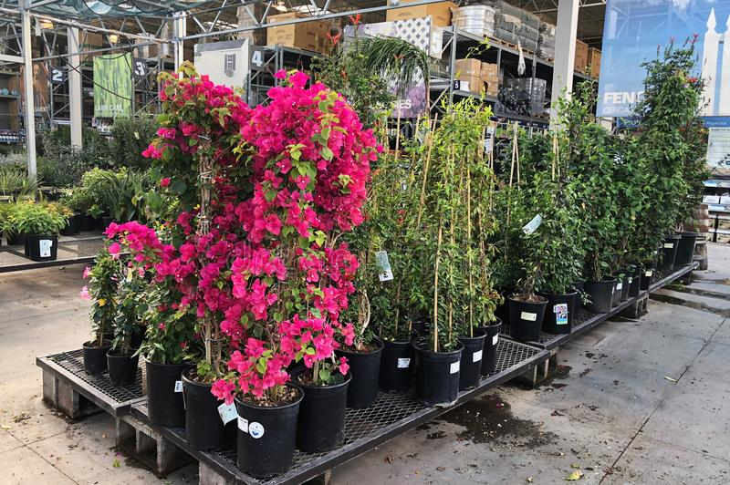 Download Flowers For Sale At Lowes Garden Center Editorial Stock Photo    Image Of Sale,
