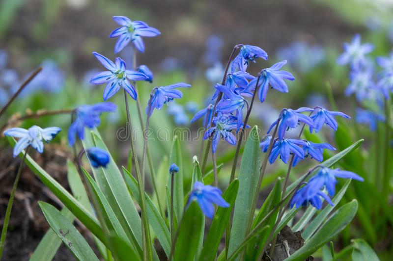 Flowers Scilla in April. In the spring royalty free stock image
