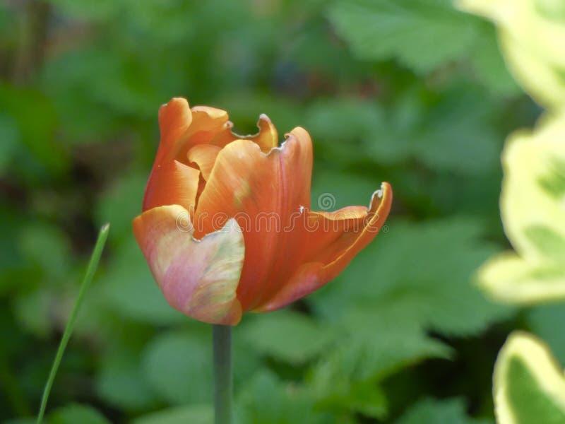 Flowers Season Botanical Floral Nature Aesthetic Colours Tulip stock photography