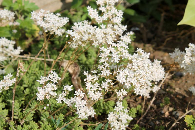 Flowers of Sedum album or White stonecrop. General view of group of flowering plants royalty free stock photos