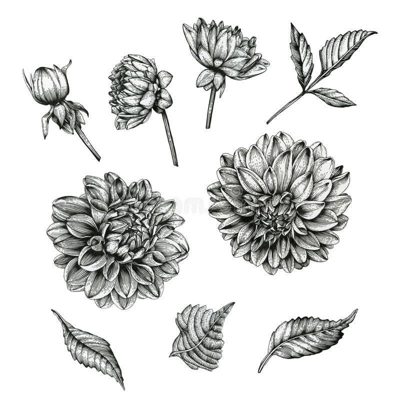 Flowers set of dahlias and leaves royalty free illustration