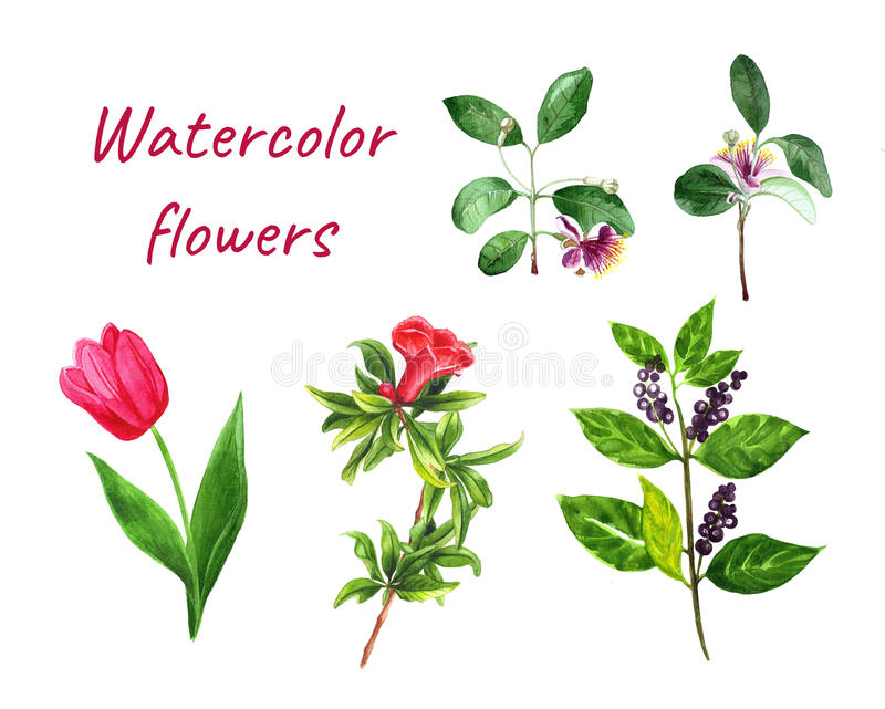 Flowers set pomegranate, feijoa, tulip, berry vector illustration