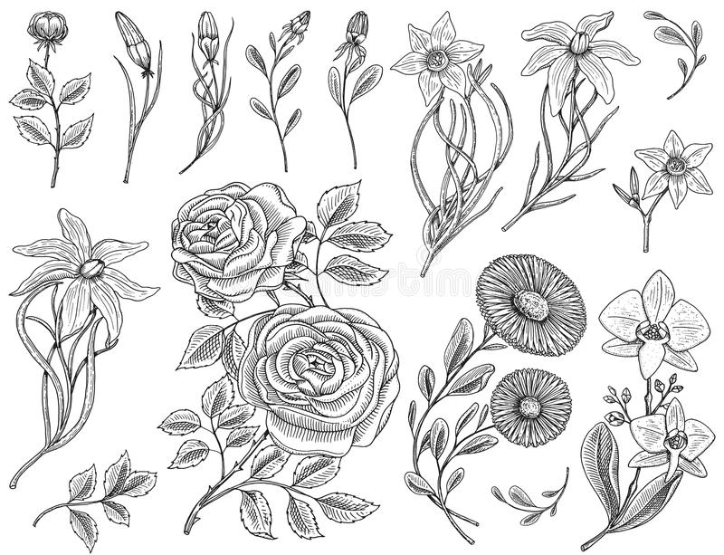 Flowers set, roses with leaves and buds, herb medicinal chamomile, daffodil and orchid, lily. Wedding botanical garden. Or plant. Vector illustration. engraved vector illustration