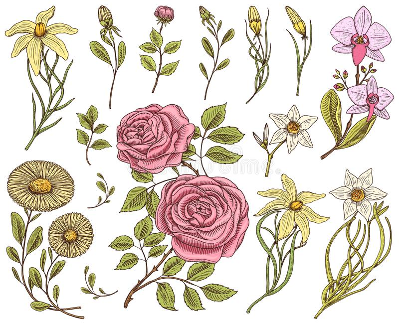 Flowers set, roses with leaves and buds, herb medicinal chamomile, daffodil and orchid, lily. Wedding botanical garden vector illustration