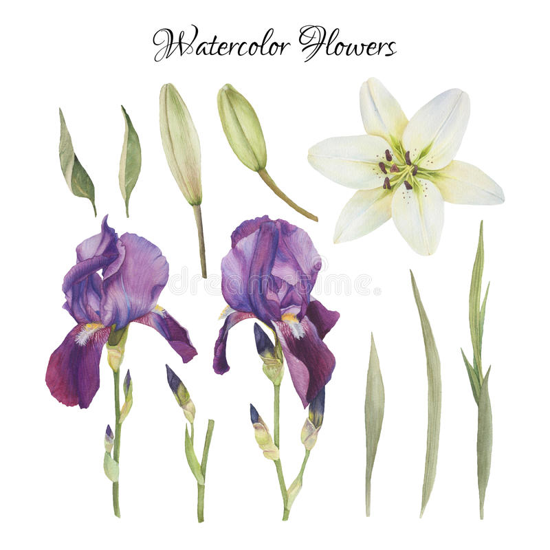 Flowers set of watercolor irises, lily and leaves royalty free illustration