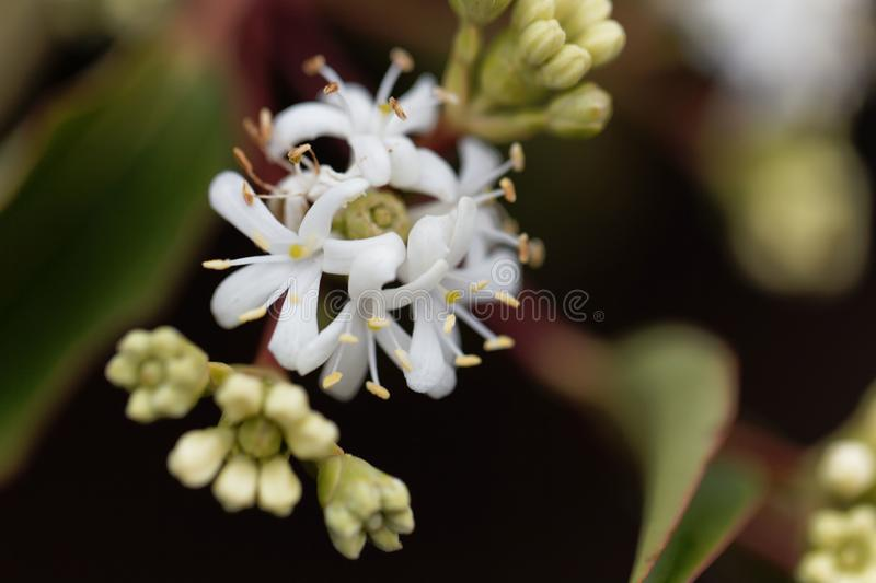 Flowers of a Seven Son Bush Heptacodium miconioides stock photo