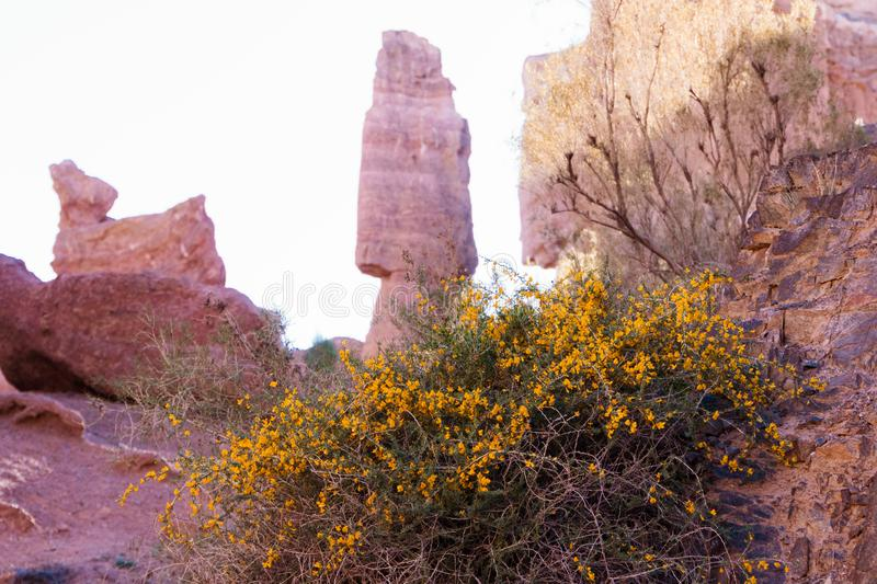 Flowers and shrubs against the background of a mountain landscape. Kazakhstan, Charyn Canyon. stock image